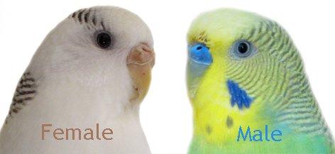 vrouwtje en mannetje parkiet